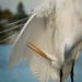 White Egret by David McCudden