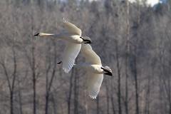 Sikes lake Swans