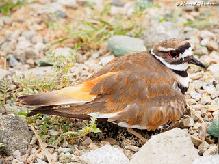 Killdeer (On nest)
