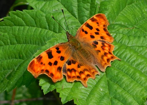 Comma Butterfly </p><p>DSCN4917