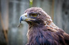 Golden Eagle by Photography And Artwork of Melissa McCarthy