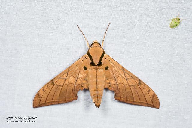 Moth - DSC_4689