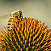 Honey Bee on Cone Flower by Mark...L
