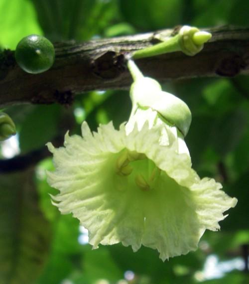 Amphitecna macrophylla 20382836442_d3d728c3ed_o