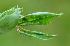 Jaapiella volvens on Lathyrus pratensis