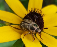 Exomala orientalis, Oriental beetle (introduced), on Rudbeckia, black-eyed susan, in the front yard, July 2015