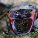 nagy szarvasbogár - Lucanus cervus