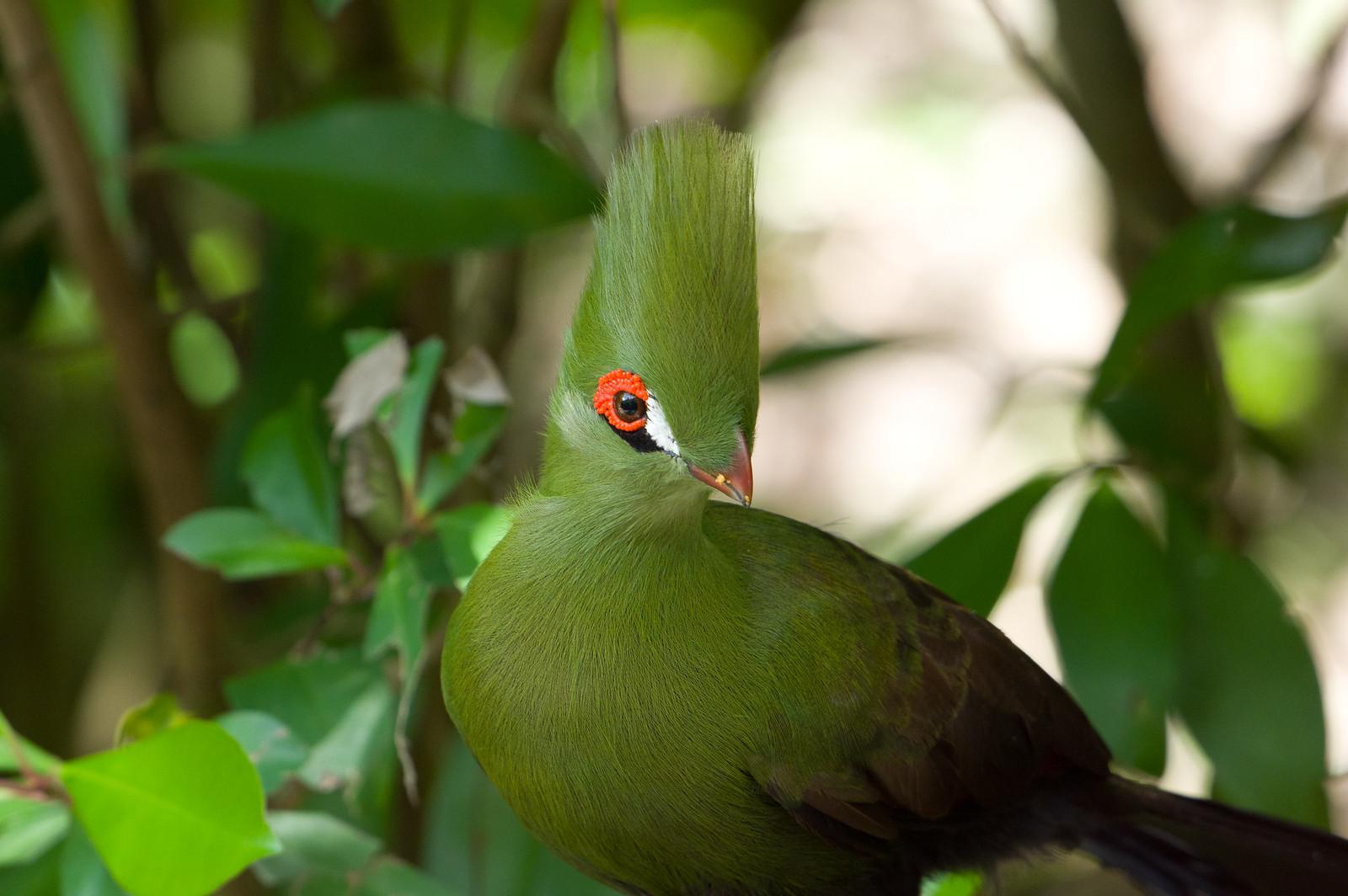 動物園的綠絲冠僧帽鳥