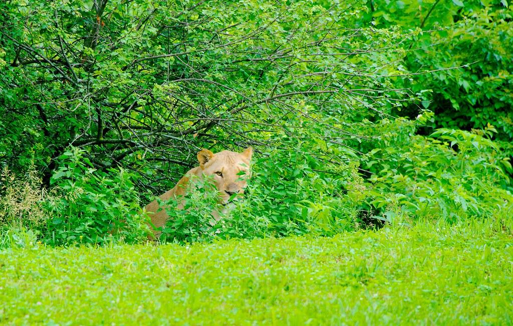 Lion (Panthera leo)_1