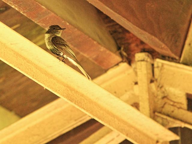 Eastern Phoebe near nest 20150629
