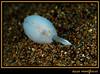 Cloïssa scintilla (Scintilla sp.)