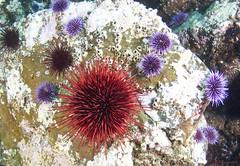 sea urchin - plant or invertebrate