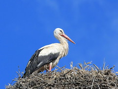 pelican(0.0), marabou stork(0.0), animal(1.0), wing(1.0), fauna(1.0), ciconiiformes(1.0), white stork(1.0), beak(1.0), bird(1.0), wildlife(1.0),