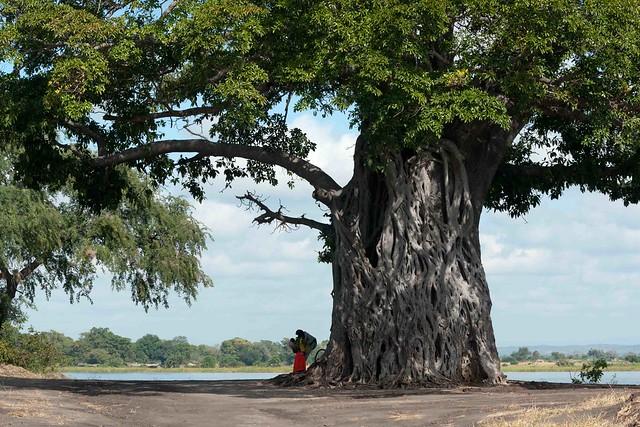 Baobab and strangler fig
