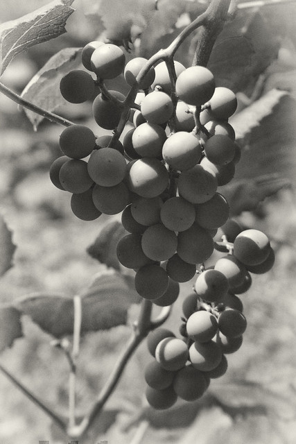 IMG_5279 Grapes