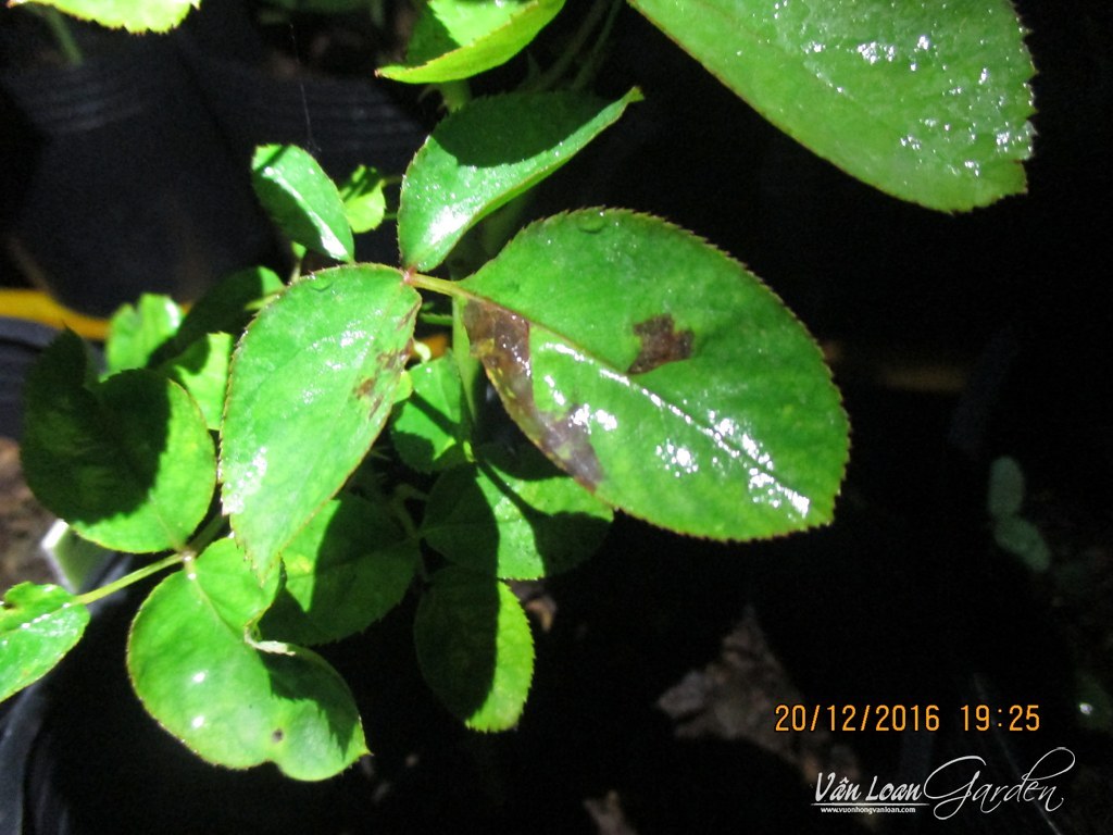 xanthomonas roses+Bacterial Leaf Spot Disease (1)-vuonhongvanloan.com