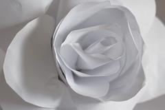 White Paper Rose
