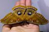 Polyphemus Moth (Antheraea polyphemus) by Wilhelm Guggisberg