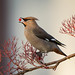 Waxwing by Paul Tymon