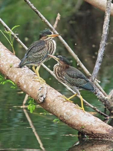 Green Heron juveniles interacting 20150601