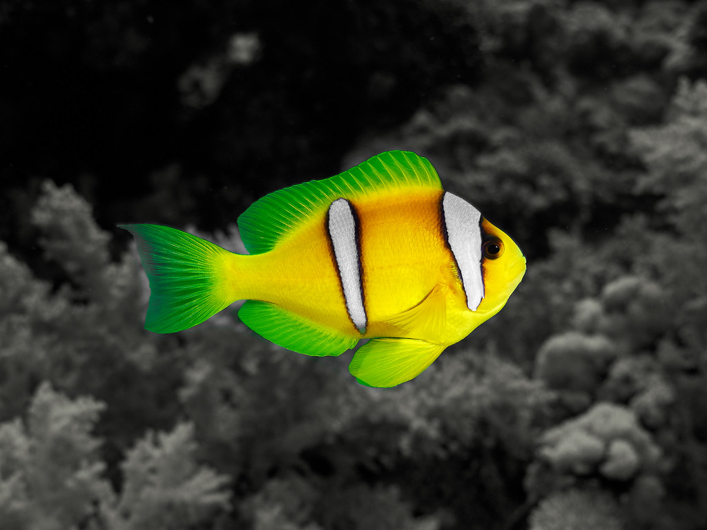 Flickr photos of red sea colored fish | Picssr