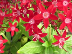 Starla Red Pentas again