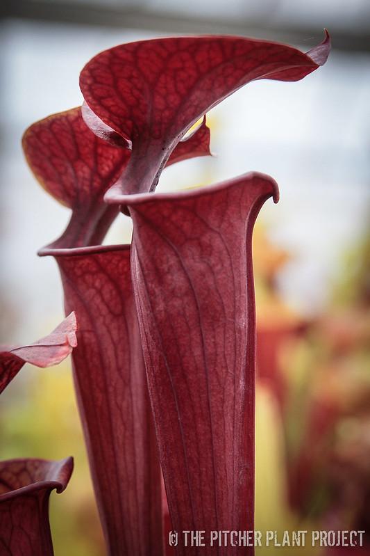 Sarracenia flava var. autropurpurea