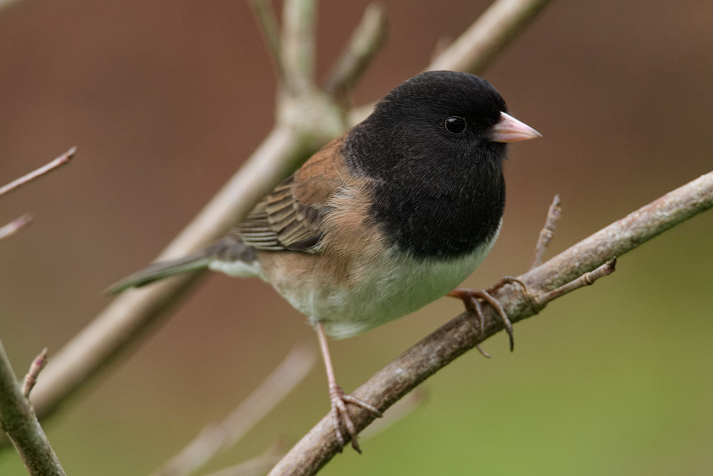 Junco in the Dogwood
