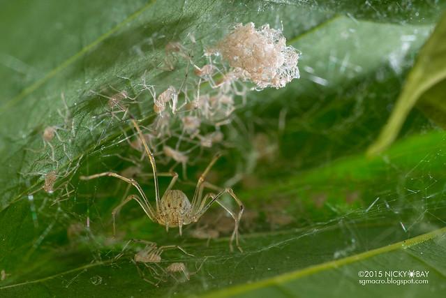 Spitting spider (Scytodidae) - DSC_0871