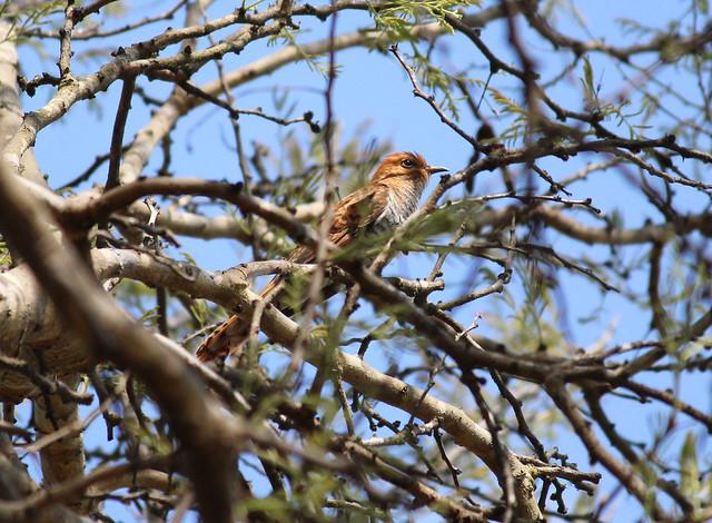 Indian Plaintive Cuckoo Female
