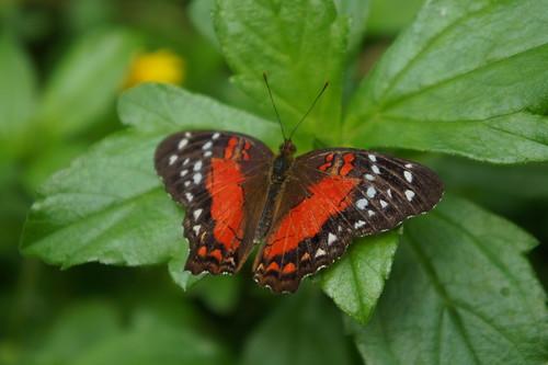 Butterfly, De Hortus Botanicus Amsterdam