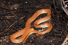 Goulds hooded snake