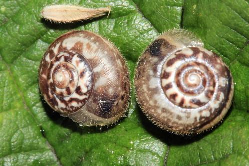 Kentish Snail 1162