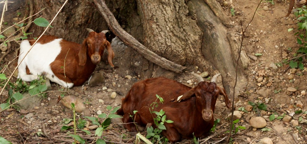 CC Goats resting