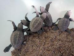 Baby turtles born on Los Muertos Beach in Puerto Vallarta on Mexico's Pacific coast