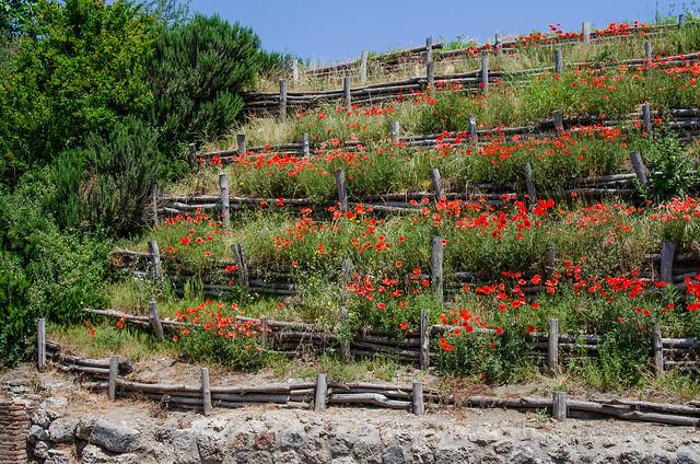20150519-Pompeii-Wild-Poppies-0490