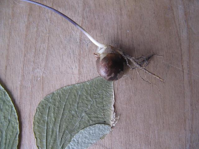 Header of Amphicarpa bracteata