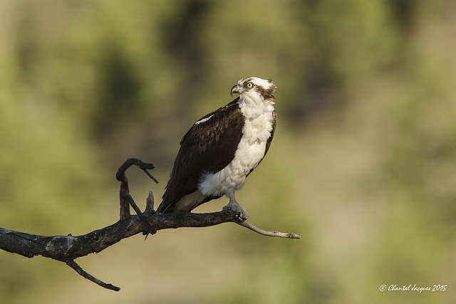 Osprey keeping an eye on the nest while occupying a promising perch for a good catch.