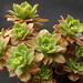 Aeonium leucoblepharum by Liz21UK