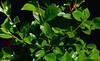 Prunus Cerasus x P. fruiticosa_sm