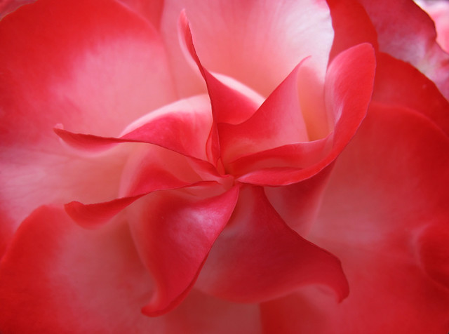 Red rose petals whorl