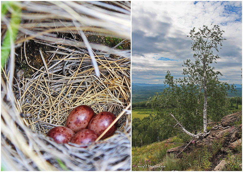 ...mountain birch and bird's nest collage