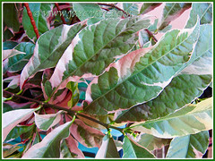 Opposite arranged leaves of Excoecaria cochinchinensis cv. Firestorm (Chinese Croton Firestorm, Variegated Blindness Tree, Jungle Fire Plant), July 17 2015