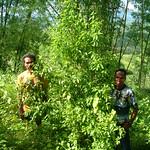 Santalum album root sprout