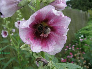 alcea-purple