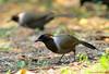 นกกะรางอกสีน้ำตาลไหม้ / White-necked Laughingthrush / Garrulax strepitans