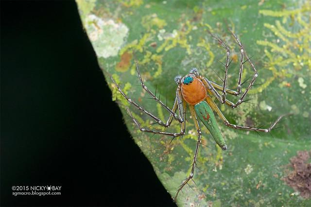 Lynx spider (Hamadruas sp.) - DSC_5529