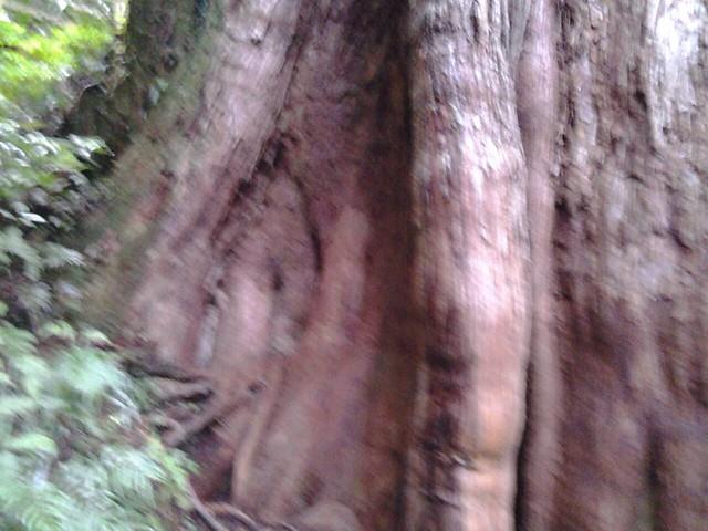 16050拉拉山巨木群