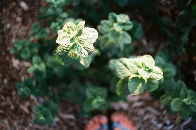 tenacious mint