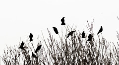 A Select Committee of Rooks